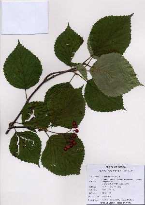 (Viburnum wrightii - PDBK2008-0936)  @11 [ ] Copyright (2008) Ki Joong Kim Korea University Herbarium (KUS)