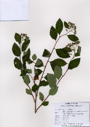 (Spiraea miyabei - PDBK2008-1047)  @11 [ ] Copyright (2008) Ki Joong Kim Korea University Herbarium (KUS)