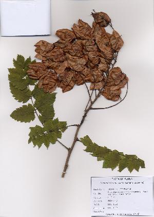 (Koelreuteria - PDBK2008-1092)  @13 [ ] Copyright (2008) Ki Joong Kim Korea University Herbarium (KUS)