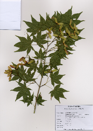 ( - PDBK2008-1173)  @11 [ ] Copyright (2008) Ki Joong Kim Korea University Herbarium (KUS)