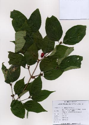 (Cornus officinalis - PDBK2008-1174)  @11 [ ] Copyright (2008) Ki Joong Kim Korea University Herbarium (KUS)