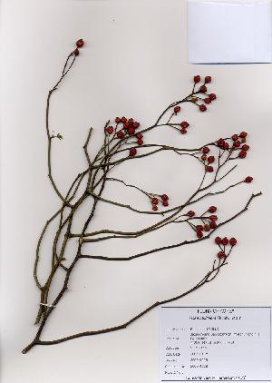 ( - PDBK2008-1228)  @11 [ ] Copyright (2008) Ki Joong Kim Korea University Herbarium (KUS)