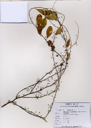 (Securinega - PDBK2008-1257)  @11 [ ] Copyright (2008) Ki Joong Kim Korea University Herbarium (KUS)