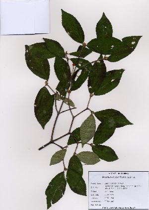 (Viburnum erosum - PDBK2008-1294)  @11 [ ] Copyright (2008) Ki Joong Kim Korea University Herbarium (KUS)