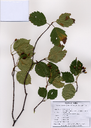 (Sorbus alnifolia - PDBK2008-1343)  @11 [ ] Copyright (2008) Ki Joong Kim Korea University Herbarium (KUS)