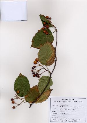 (Sorbus alnifolia - PDBK2008-1404)  @11 [ ] Copyright (2008) Ki Joong Kim Korea University Herbarium (KUS)