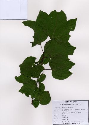 (Lauroideae - PDBK2008-1440)  @11 [ ] Copyright (2008) Ki Joong Kim Korea University Herbarium (KUS)