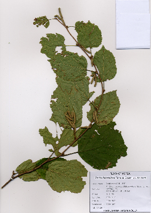 (Coryloideae - PDBK2008-1547)  @11 [ ] Copyright (2008) Ki Joong Kim Korea University Herbarium (KUS)