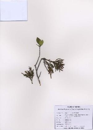 (Korthalsella - PDBK2009-0038)  @13 [ ] Copyright (2009) Ki Joong Kim Korea University Herbarium (KUS)