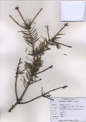 (Picea abies - PDBK2009-0046)  @12 [ ] Copyright (2009) Ki Joong Kim Korea University Herbarium (KUS)