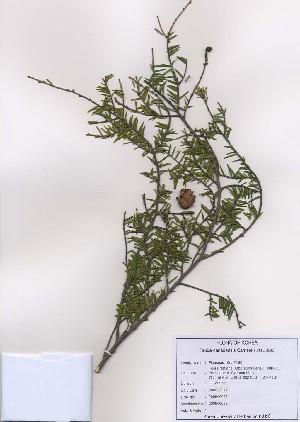 (Tsuga canadensis - PDBK2009-0058)  @13 [ ] Copyright (2009) Ki Joong Kim Korea University Herbarium (KUS)