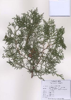 (Platycladus orientalis - PDBK2009-0065)  @11 [ ] Copyright (2009) Ki Joong Kim Korea University Herbarium (KUS)