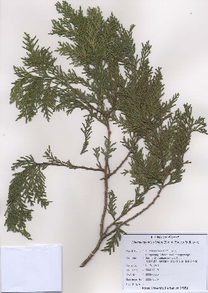 (Chamaecyparis - PDBK2009-0069)  @11 [ ] Copyright (2009) Ki Joong Kim Korea University Herbarium (KUS)