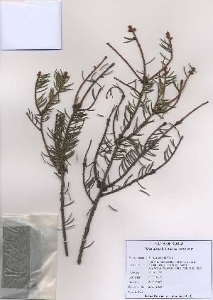 (Picea abies - PDBK2009-0072)  @12 [ ] Copyright (2009) Ki Joong Kim Korea University Herbarium (KUS)