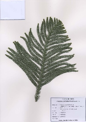 (Araucaria - PDBK2009-0089)  @11 [ ] Copyright (2009) Ki Joong Kim Korea University Herbarium (KUS)