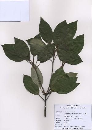 (Neolitsea - PDBK2009-0101)  @11 [ ] Copyright (2009) Ki Joong Kim Korea University Herbarium (KUS)