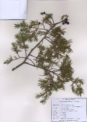(Juniperus rigida - PDBK2009-0120)  @11 [ ] Copyright (2009) Ki Joong Kim Korea University Herbarium (KUS)