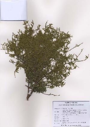 ( - PDBK2009-0129)  @13 [ ] Copyright (2009) Ki Joong Kim Korea University Herbarium (KUS)