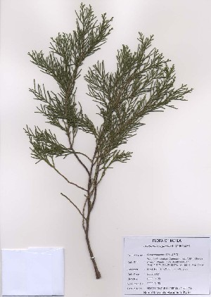 ( - PDBK2009-0130)  @11 [ ] Copyright (2009) Ki Joong Kim Korea University Herbarium (KUS)