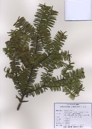 (Torreya - PDBK2009-0141)  @11 [ ] Copyright (2009) Ki Joong Kim Korea University Herbarium (KUS)
