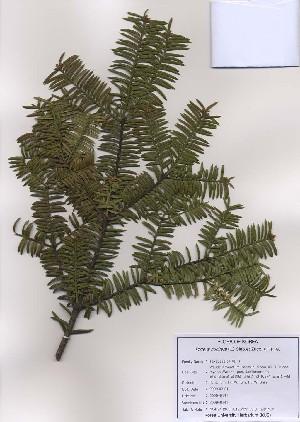 (Taxaceae - PDBK2009-0141)  @11 [ ] Copyright (2009) Ki Joong Kim Korea University Herbarium (KUS)