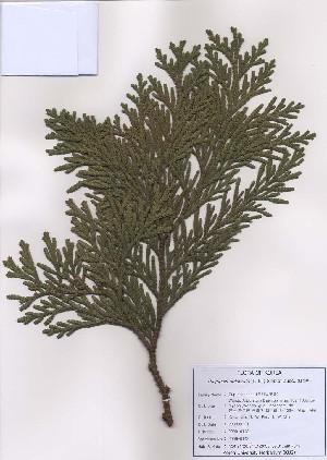 (Thujopsis - PDBK2009-0142)  @11 [ ] Copyright (2009) Ki Joong Kim Korea University Herbarium (KUS)