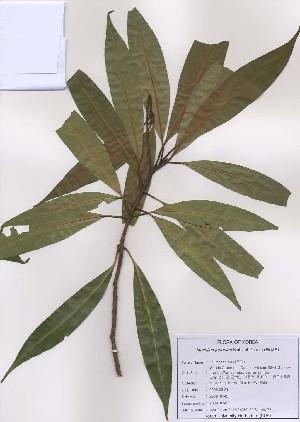 (Machilus - PDBK2009-0143)  @11 [ ] Copyright (2009) Ki Joong Kim Korea University Herbarium (KUS)