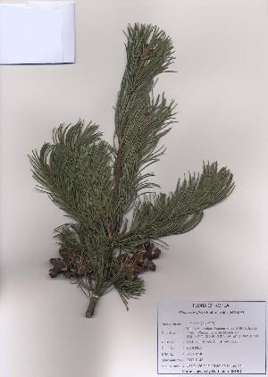 ( - PDBK2009-0148)  @13 [ ] Copyright (2009) Ki Joong Kim Korea University Herbarium (KUS)