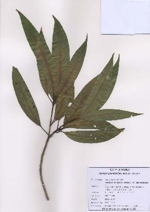 (Machilus - PDBK2009-0248)  @11 [ ] Copyright (2009) Ki Joong Kim Korea University Herbarium (KUS)