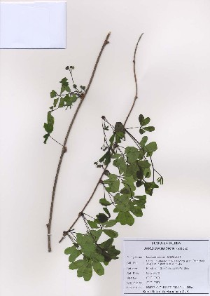 (Ranunculales - PDBK2009-0359)  @11 [ ] Copyright (2009) Ki Joong Kim Korea University Herbarium (KUS)