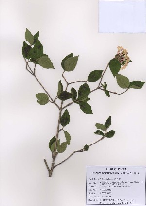 (Viburnum burejaeticum - PDBK2009-0362)  @11 [ ] Copyright (2009) Ki Joong Kim Korea University Herbarium (KUS)