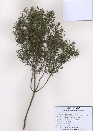 (Juniperus rigida - PDBK2009-0377)  @11 [ ] Copyright (2009) Ki Joong Kim Korea University Herbarium (KUS)