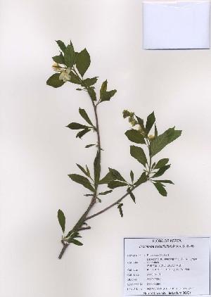 (Exochorda serratifolia - PDBK2009-0384)  @11 [ ] Copyright (2009) Ki Joong Kim Korea University Herbarium (KUS)