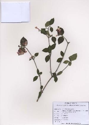 (Viburnum burejaeticum - PDBK2009-0391)  @11 [ ] Copyright (2009) Ki Joong Kim Korea University Herbarium (KUS)