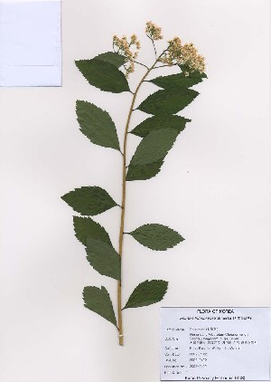 (Spiraea fritschiana - PDBK2009-0402)  @11 [ ] Copyright (2009) Ki Joong Kim Korea University Herbarium (KUS)
