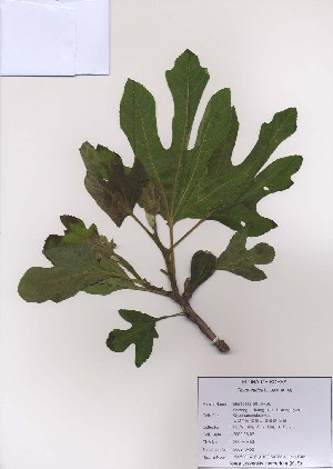 ( - PDBK2009-0453)  @11 [ ] Copyright (2009) Ki Joong Kim Korea University Herbarium (KUS)