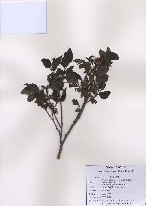 (Aphananthe - PDBK2009-0489)  @11 [ ] Copyright (2009) Ki Joong Kim Korea University Herbarium (KUS)