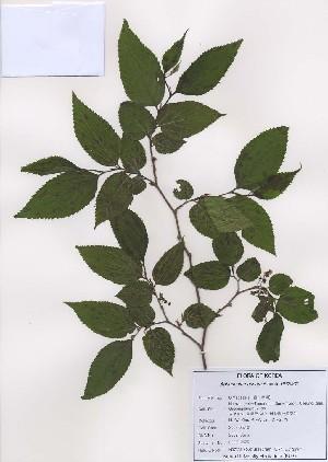 (Aphananthe - PDBK2009-0576)  @11 [ ] Copyright (2009) Ki Joong Kim Korea University Herbarium (KUS)