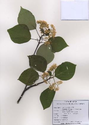 (Cornus controversa - PDBK2009-0591)  @11 [ ] Copyright (2009) Ki Joong Kim Korea University Herbarium (KUS)