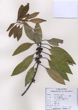 (Neolitsea - PDBK2009-0598)  @11 [ ] Copyright (2009) Ki Joong Kim Korea University Herbarium (KUS)
