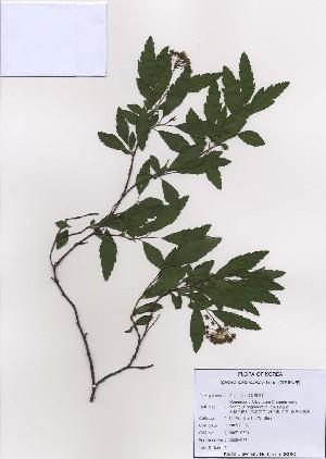( - PDBK2009-0624)  @11 [ ] Copyright (2009) Ki Joong Kim Korea University Herbarium (KUS)