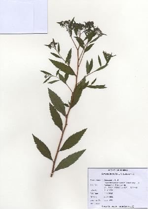 ( - PDBK2009-0635)  @11 [ ] Copyright (2009) Ki Joong Kim Korea University Herbarium (KUS)