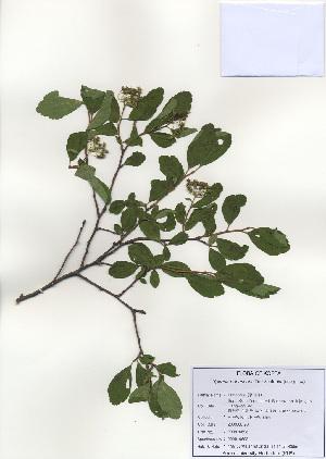 (Spiraea pubescens - PDBK2009-0698)  @11 [ ] Copyright (2009) Ki Joong Kim Korea University Herbarium (KUS)