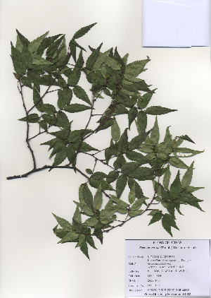 (Zelkova - PDBK2009-1151)  @11 [ ] Copyright (2009) Ki Joong Kim Korea University Herbarium (KUS)