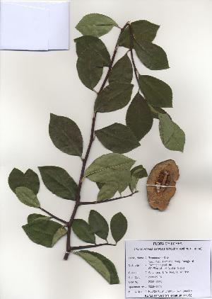 (Chaenomeles - PDBK2009-1153)  @11 [ ] Copyright (2009) Ki Joong Kim Korea University Herbarium (KUS)