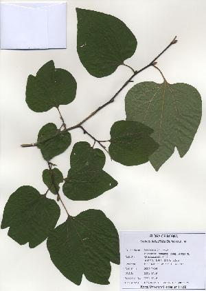 (Lauroideae - PDBK2009-1189)  @11 [ ] Copyright (2009) Ki Joong Kim Korea University Herbarium (KUS)