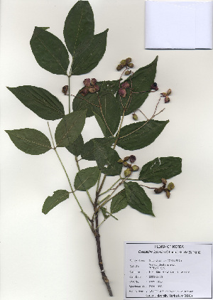 (Staphyleaceae - PDBK2009-1196)  @11 [ ] Copyright (2009) Ki Joong Kim Korea University Herbarium (KUS)