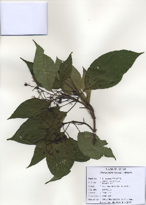 (Cornus walteri - PDBK2009-1225)  @11 [ ] Copyright (2009) Ki Joong Kim Korea University Herbarium (KUS)
