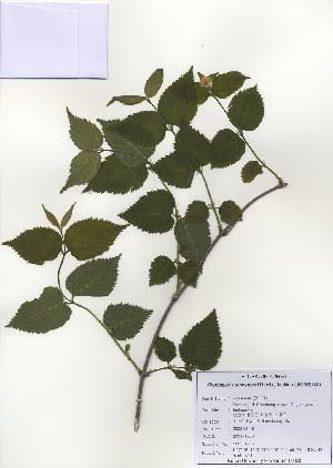 ( - PDBK2009-1286)  @11 [ ] Copyright (2009) Ki Joong Kim Korea University Herbarium (KUS)