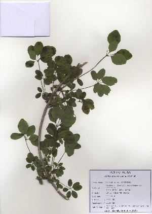 (Ranunculales - PDBK2009-1291)  @11 [ ] Copyright (2009) Ki Joong Kim Korea University Herbarium (KUS)